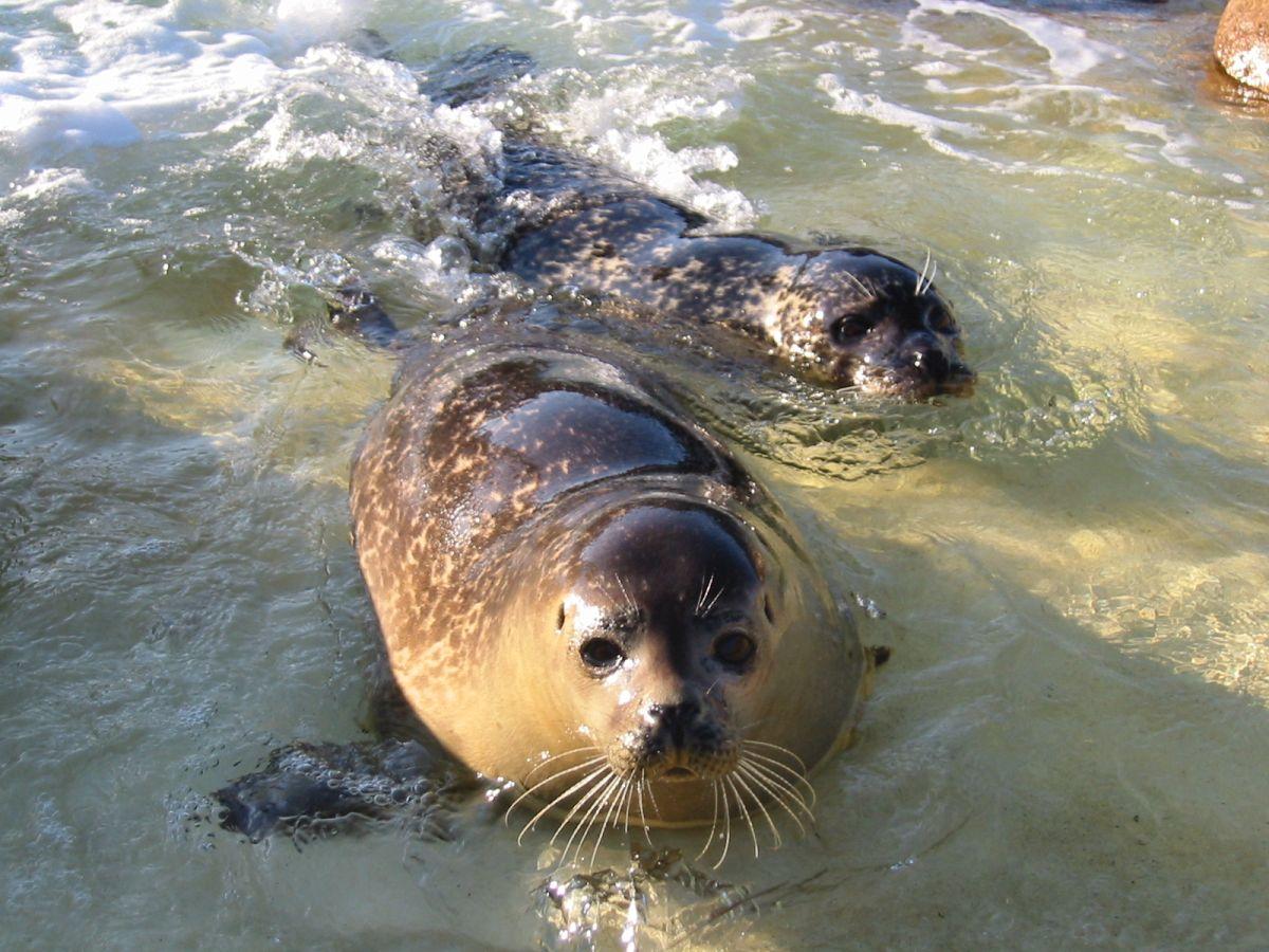 Im Jahr 2002 zieht Seehunddame Mareike zu den Dauerhaltungstieren