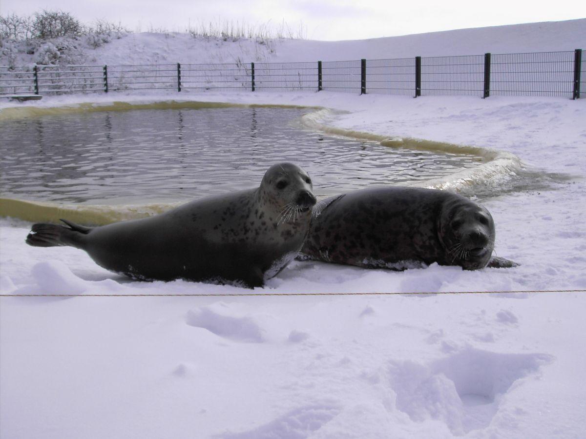 Die beiden Kegelrobben Nemirseta und Juris ziehen in der Seehundstation Friedrichskoog ein.